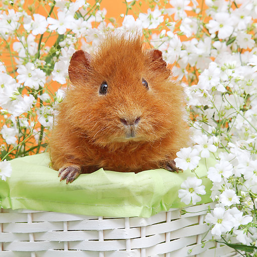 ROD 02 XA0017 01 © Kimball Stock Guinea Pig Sitting In Basket With Flowers