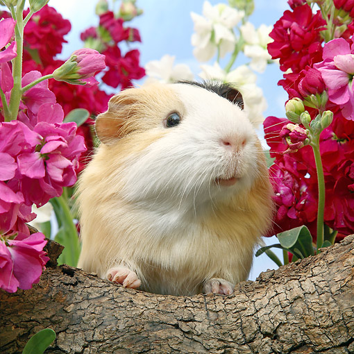 ROD 02 XA0018 01 © Kimball Stock Guinea Pig Sitting On Log With Flowers