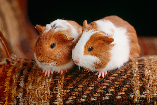 ROD 02 GR0001 01 © Kimball Stock Smooth Haired Guinea Pigs On Armchair