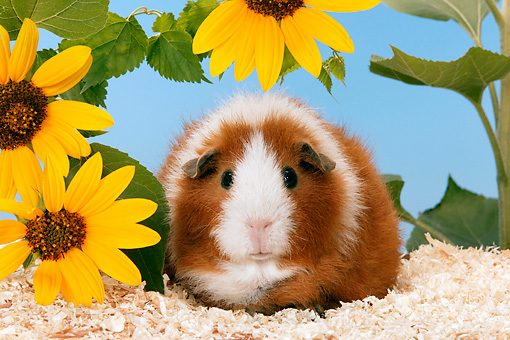 ROD 02 KH0003 01 © Kimball Stock Guinea Pig Sitting By Yellow Flower