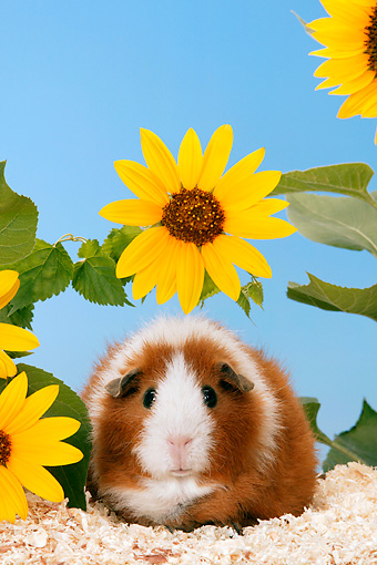 ROD 02 KH0004 01 © Kimball Stock Guinea Pig Sitting By Yellow Flower