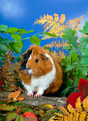 ROD 02 KH0006 01 © Kimball Stock Guinea Pig Sitting On Log By Foliage