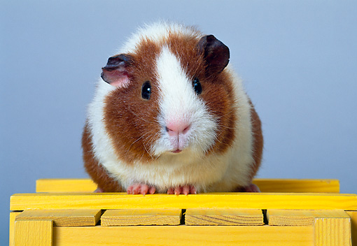 ROD 02 KH0007 01 © Kimball Stock Guinea Pig Sitting On Yellow Box