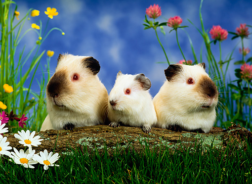ROD 02 KH0008 01 © Kimball Stock Guinea Pig Family Sitting By Log And Flowers In Grass
