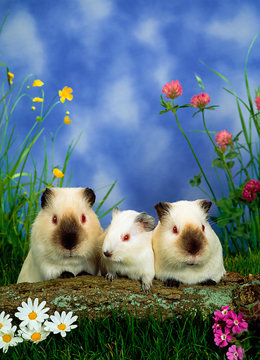 ROD 02 KH0009 01 © Kimball Stock Guinea Pig Family Sitting By Log And Flowers In Grass