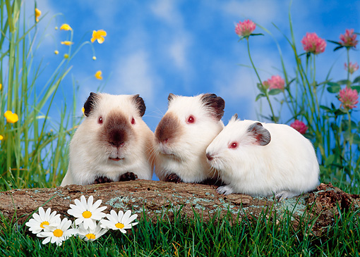 ROD 02 KH0010 01 © Kimball Stock Guinea Pig Family Sitting By Log And Flowers In Grass