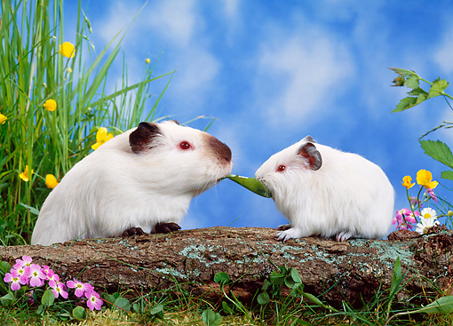 ROD 02 KH0013 01 © Kimball Stock Guinea Pigs Sitting On Log By Flowers In Grass Eating Leaf