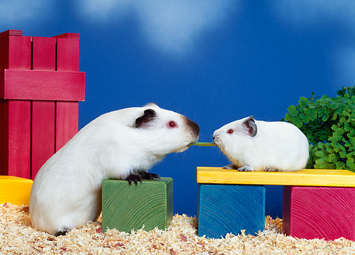 ROD 02 KH0015 01 © Kimball Stock Guinea Pigs Sitting On Colorful Wood Blocks Eating Leaf