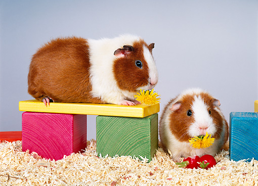 ROD 02 KH0016 01 © Kimball Stock Guinea Pigs Sitting On Colorful Wood Blocks Eating Dandelions