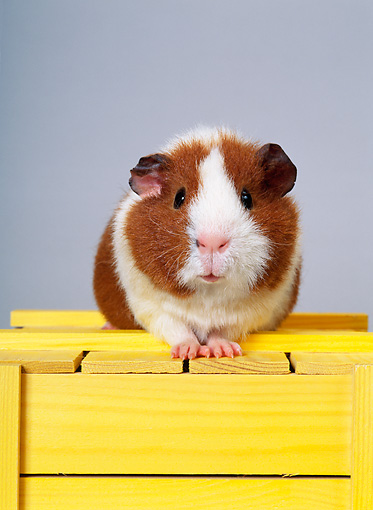 ROD 02 KH0017 01 © Kimball Stock Guinea Pig Sitting On Yellow Wood Block