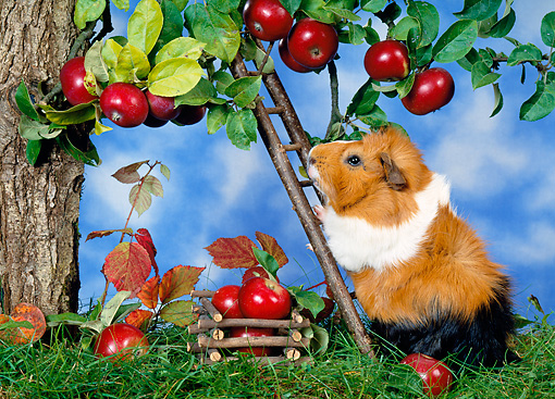 ROD 02 KH0018 01 © Kimball Stock Guinea Pig Climbing Ladder By Apple Tree On Grass