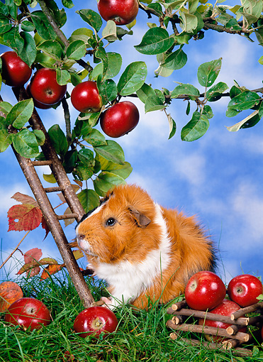 ROD 02 KH0019 01 © Kimball Stock Guinea Pig Climbing Ladder By Apple Tree On Grass