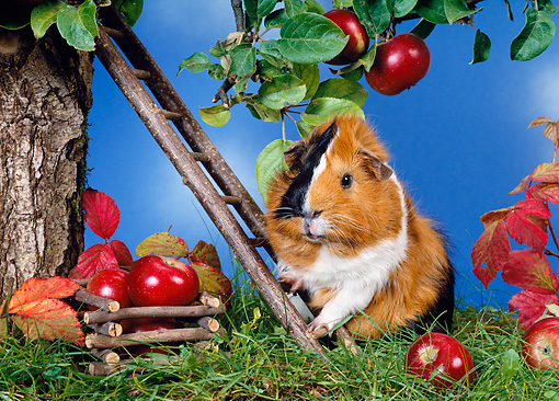 ROD 02 KH0020 01 © Kimball Stock Guinea Pig Climbing Ladder By Apple Tree On Grass