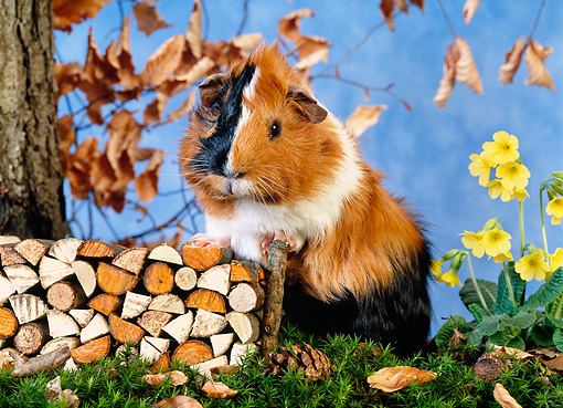 ROD 02 KH0021 01 © Kimball Stock Guinea Pig Standing By Firewood Pile On Grass