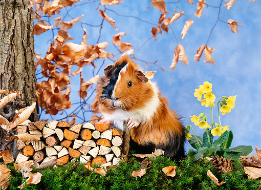 ROD 02 KH0022 01 © Kimball Stock Guinea Pig Standing By Firewood Pile On Grass