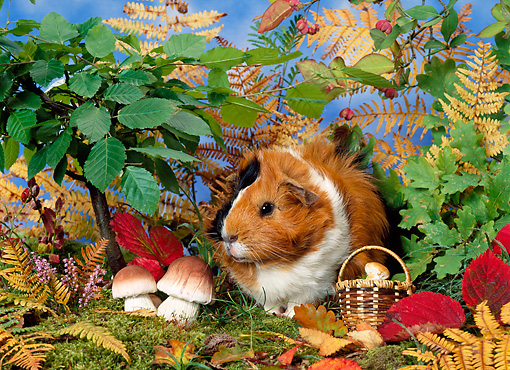 ROD 02 KH0023 01 © Kimball Stock Guinea Pig Sitting By Shrubs And Mushrooms