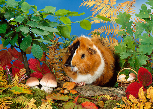 ROD 02 KH0024 01 © Kimball Stock Guinea Pig Sitting By Shrubs And Mushrooms On Log