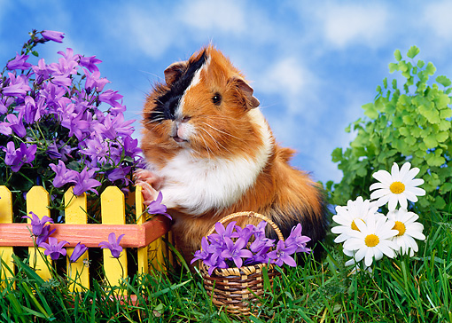 ROD 02 KH0025 01 © Kimball Stock Guinea Pig Standing By Yellow Fence And Purple Flowers