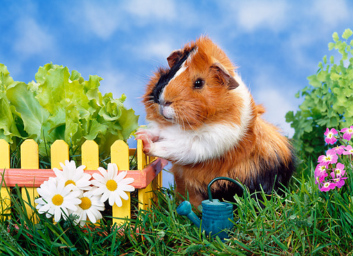 ROD 02 KH0026 01 © Kimball Stock Guinea Pig Standing By Yellow Fence And Daisies