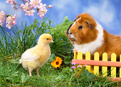 ROD 02 KH0027 01 © Kimball Stock Guinea Pig Standing By Yellow Fence And Chick