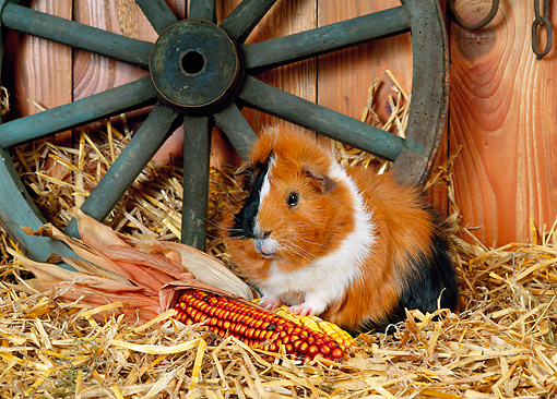 ROD 02 KH0029 01 © Kimball Stock Guinea Pig Sitting By Corn In Barn