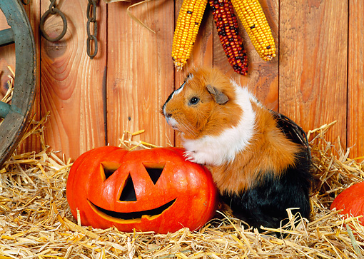 ROD 02 KH0030 01 © Kimball Stock Guinea Pig Standing By Jack O'Lantern In Barn