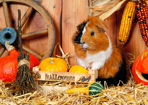 ROD 02 KH0031 01 © Kimball Stock Guinea Pig Standing By Pumpkins In Barn