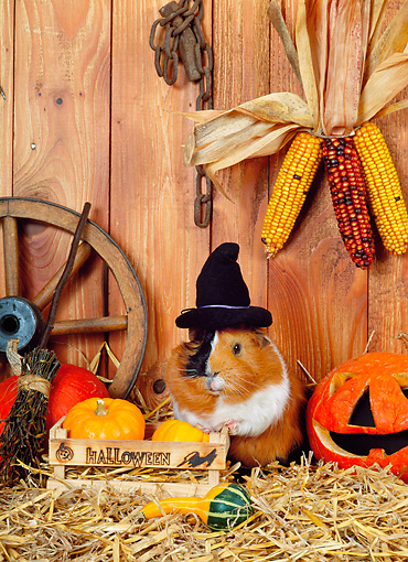ROD 02 KH0032 01 © Kimball Stock Guinea Pig Wearing Witch Hat Standing By Pumpkins In Barn