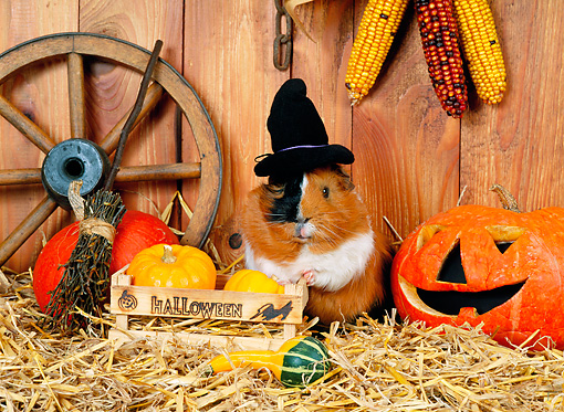 ROD 02 KH0033 01 © Kimball Stock Guinea Pig Wearing Witch Hat Standing By Pumpkins In Barn