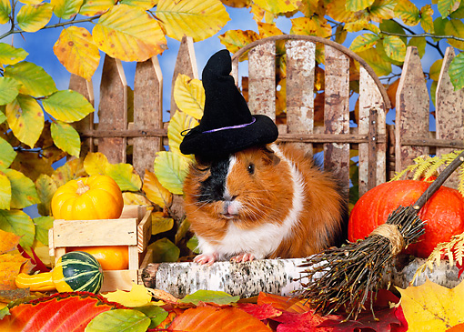 ROD 02 KH0034 01 © Kimball Stock Guinea Pig Wearing Witch Hat Sitting In Autumn Leaves By Fence And Gourds