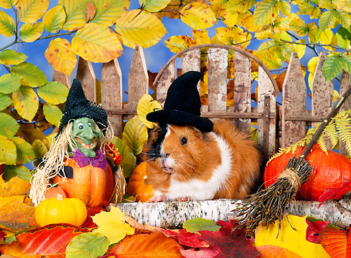 ROD 02 KH0035 01 © Kimball Stock Guinea Pig Wearing Witch Hat Sitting In Autumn Leaves By Fence And Gourds