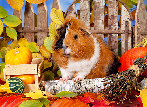 ROD 02 KH0036 01 © Kimball Stock Guinea Pig Sitting In Autumn Leaves By Fence And Gourds
