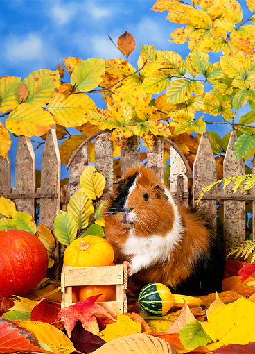ROD 02 KH0037 01 © Kimball Stock Guinea Pig Standing In Autumn Leaves By Fence And Gourds