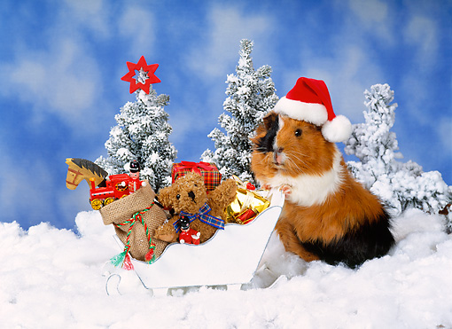 ROD 02 KH0039 01 © Kimball Stock Guinea Pig Wearing Santa Hat Standing In Snow With Sleigh Of Toys