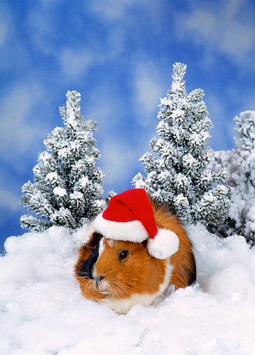 ROD 02 KH0040 01 © Kimball Stock Guinea Pig Wearing Santa Hat Sitting In Snow