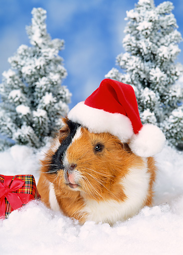 ROD 02 KH0041 01 © Kimball Stock Guinea Pig Wearing Santa Hat Sitting In Snow