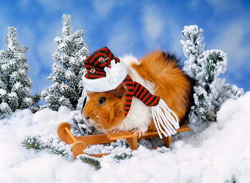 ROD 02 KH0042 01 © Kimball Stock Guinea Pig Wearing Hat And Scarf Sitting On Sled In Snow