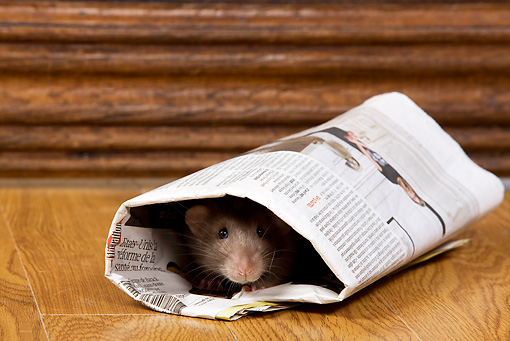 ROD 03 JE0001 01 © Kimball Stock Brown Rat Hiding In Rolled Up Newspaper