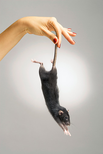 ROD 03 JE0007 01 © Kimball Stock Rat Being Held By Tail Studio
