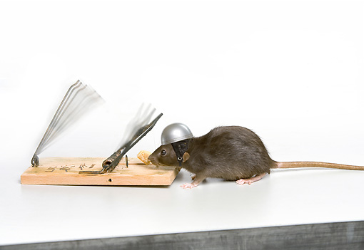 ROD 03 JE0008 01 © Kimball Stock Rat With Helmet On Stealing Cheese From Trap