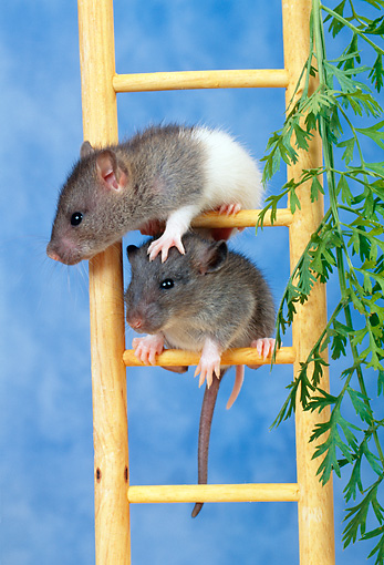 ROD 03 KH0010 01 © Kimball Stock Gray And White Rats Climbing On Ladder