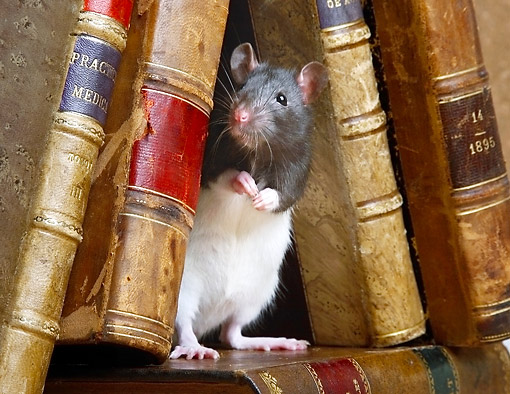ROD 03 XA0004 01 © Kimball Stock Rat Standing Among Books