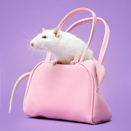 ROD 03 XA0005 01 © Kimball Stock Rat Crawling Out Of Pink Purse In Studio