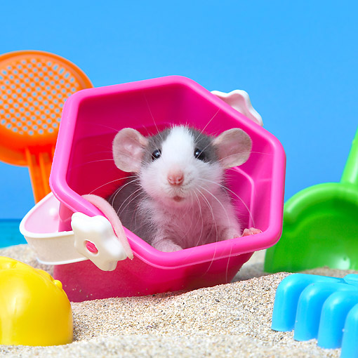 ROD 03 XA0006 01 © Kimball Stock Rat Sitting In Pail With Beach Toys In Sand
