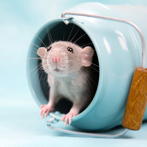 ROD 03 XA0007 01 © Kimball Stock Rat Coming Out Of Pot In Studio