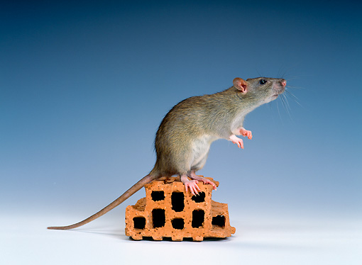 ROD 03 KH0001 01 © Kimball Stock Brown Rat Sitting On Object Studio