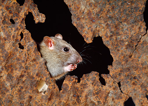 ROD 03 KH0003 01 © Kimball Stock Brown Rat Sitting Peeking Out Of Hole Eating