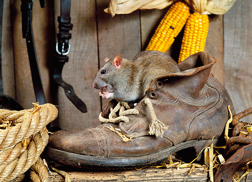 ROD 03 KH0004 01 © Kimball Stock Brown Rat Sitting In Shoe Eating
