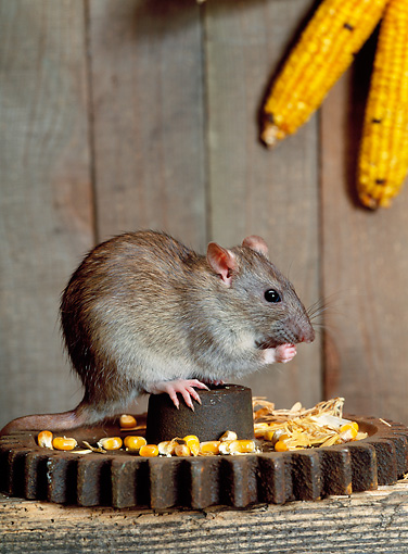 ROD 03 KH0005 01 © Kimball Stock Brown Rat Sitting On Gear Eating Corn