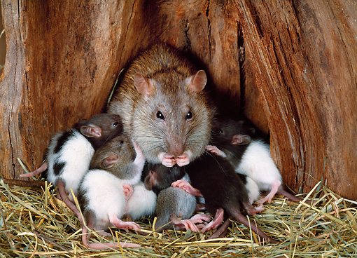 ROD 03 KH0006 01 © Kimball Stock Brown Rat Sitting Nursing Litter On Hay